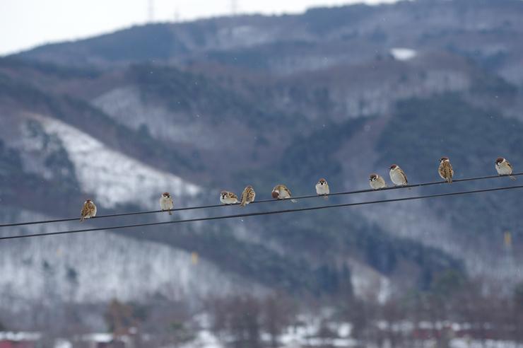 新春里雀(多数)