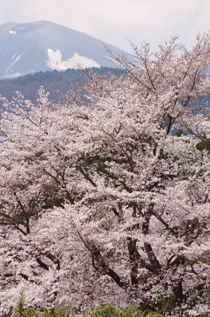 桜繚乱、兎のかくれんぼ