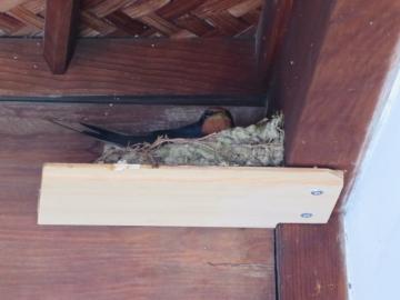 軒に燕の巣