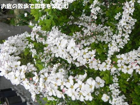 pinkuyukiyanagi2_2015032007262065c.jpg