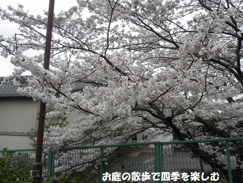 sakura3_20150405183510ec5.jpg