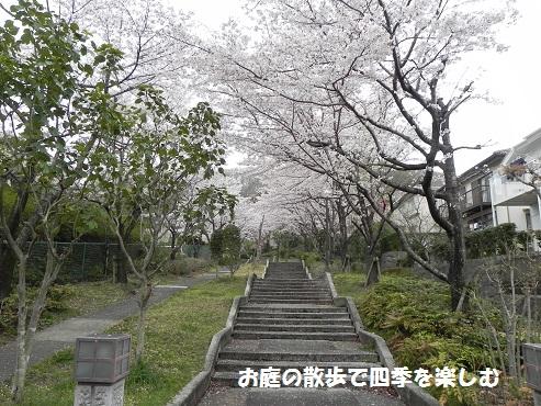 sakura7_20150405184101a9d.jpg