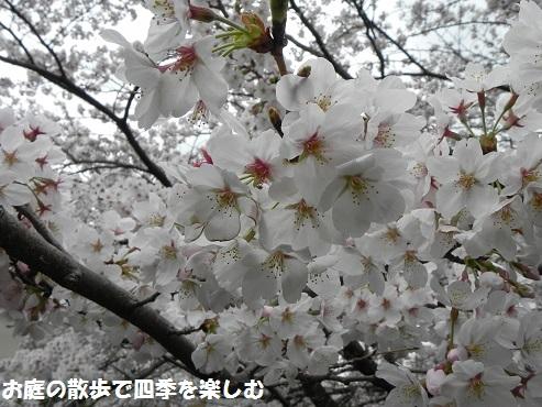 sakura_20150405183507a85.jpg