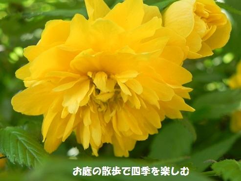 yamabuki3_2015042301330124c.jpg