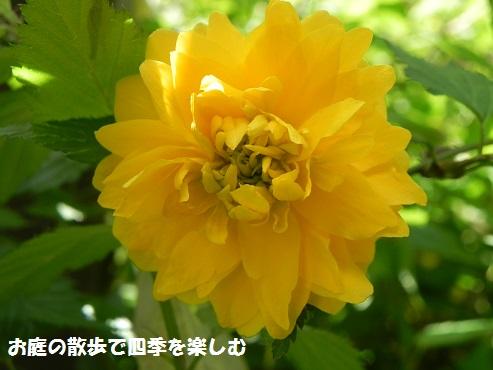 yamabuki4_20150423013257cf5.jpg