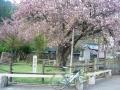 150425もう見頃も過ぎた黒田百年桜
