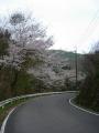 150412大正池井手側の桜