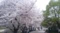 150404淀川河川公園背割堤の桜まつり.1
