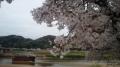 150404淀川河川公園背割堤の桜まつり.2