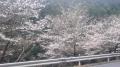150404大正池登坂中に桜