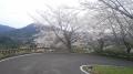 150404大正池和束側の桜