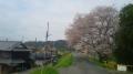 150404恭仁大橋南詰木津川沿いに桜