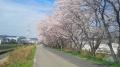 150404木津川CR〜大住の桜