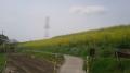 140512淀川堤防土手の菜の花.1