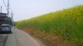 150412淀川堤防土手の菜の花.2