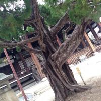 妙顕寺の木
