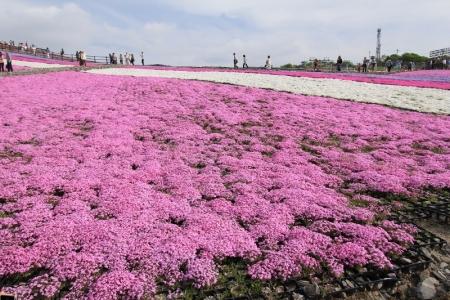 芝桜5_800