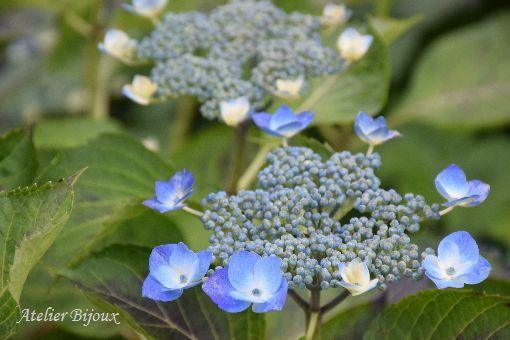 004-紫陽花