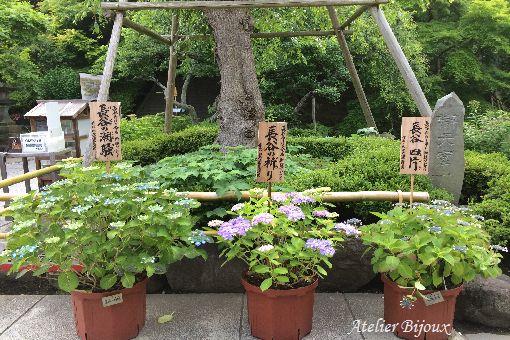 144-長谷寺-紫陽花