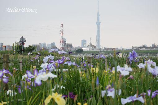 004-Emi-花菖蒲-スカイツリー
