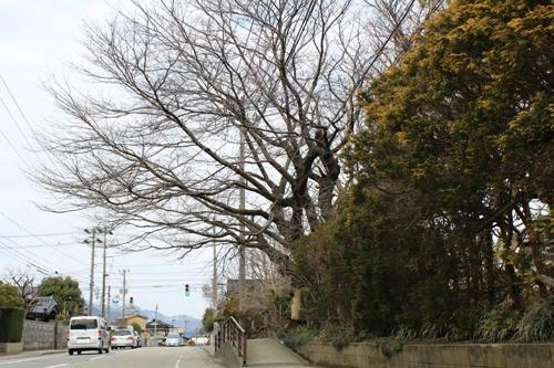 oldsakura-20150307.jpg