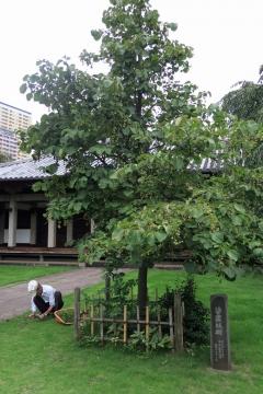 25天王寺沙羅双樹
