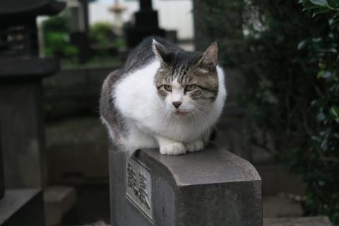 31谷中墓地のネコ