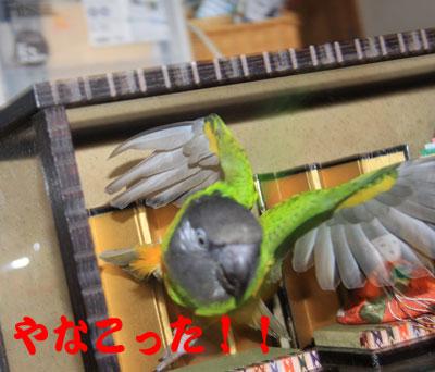 6_雛祭りチャッピ