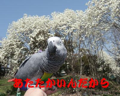 1_カンナ白い木