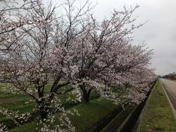 ウオーキングコース桜
