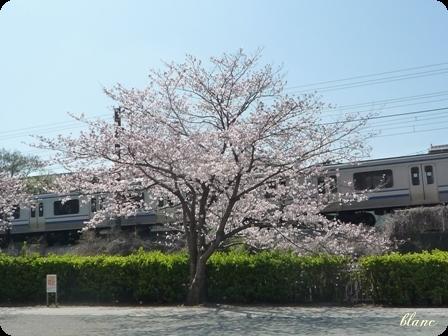 さくら(3)