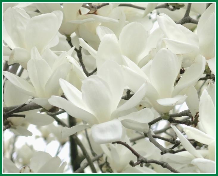 ハクモクレン 2015 3 18 014 純白の花弁 2 710