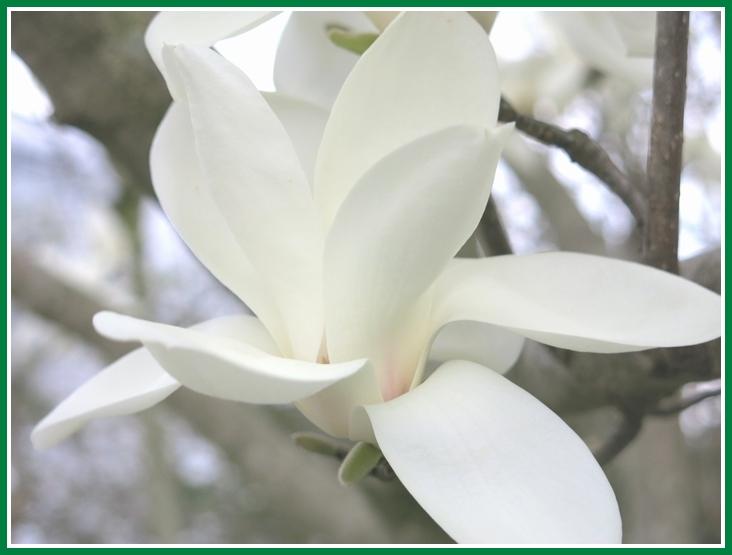 ハクモクレン 2015 3 18 036 純白の花弁 710