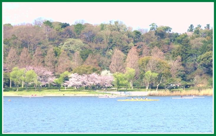サクラ 2015 3 31 007 佐鳴湖 a
