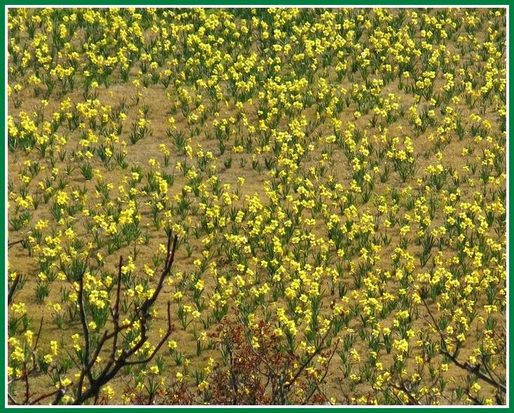 ラッパ水仙 2015 3 28 FP 015 黄色  斜面