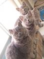 selkirk_bluecats150302-1