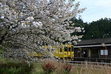 厳木駅桜模様2015(5)