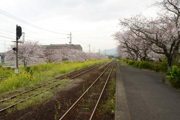 桜無残(7)