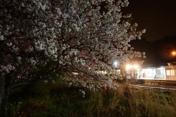 厳木駅夜桜2015(4)
