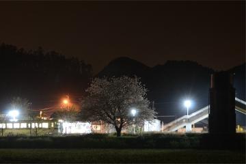 厳木駅夜桜2015(5)