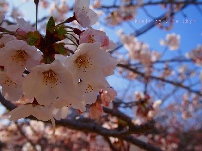功山寺-桜1UP