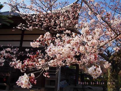 功山寺-桜2