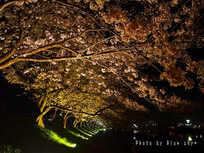 夜桜-今川2