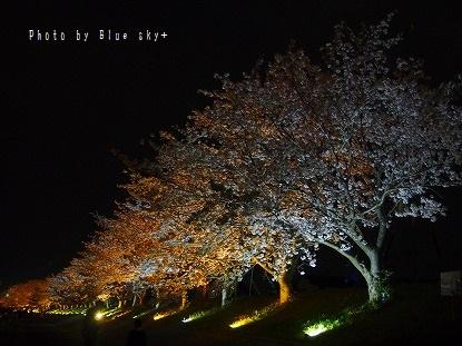 夜桜-今川3