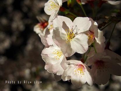 夜桜-今川4