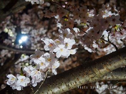 夜桜-今川5