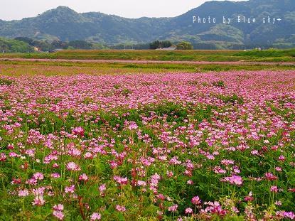 れんげ草畑