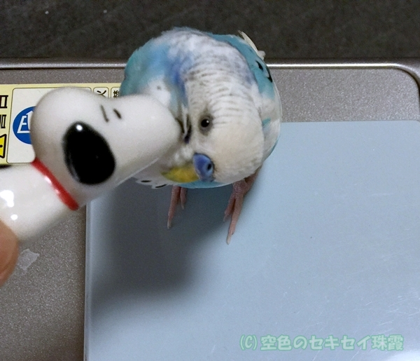 セキセイインコ 珠霞 かきかき カキカキ