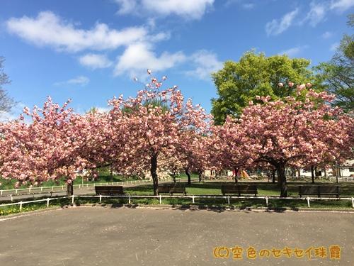 札幌市西区 農試公園 八重桜