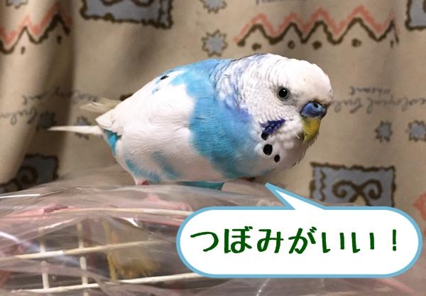 つぼみ、はよ!   空色のセキセイ珠霞